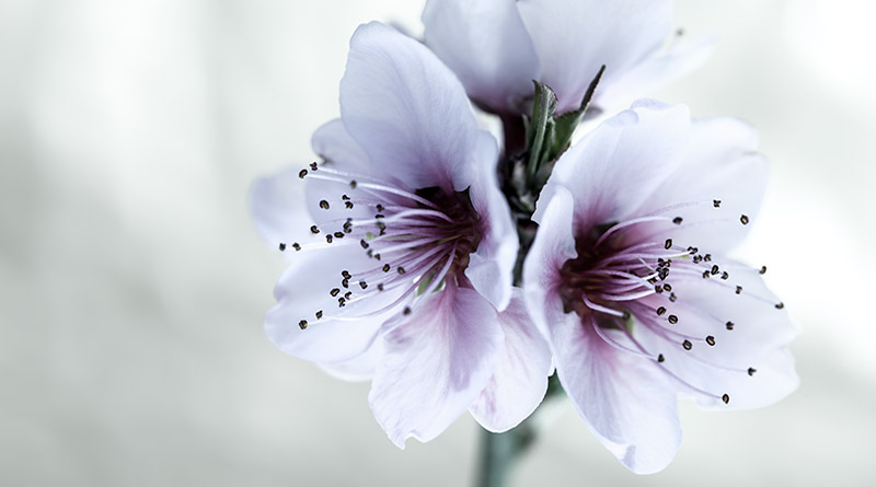 How To Photograph Flowers (Almond Flower Example)