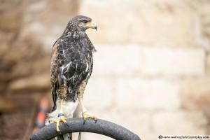 Eagle - Montblanc Medieval Festival 2015
