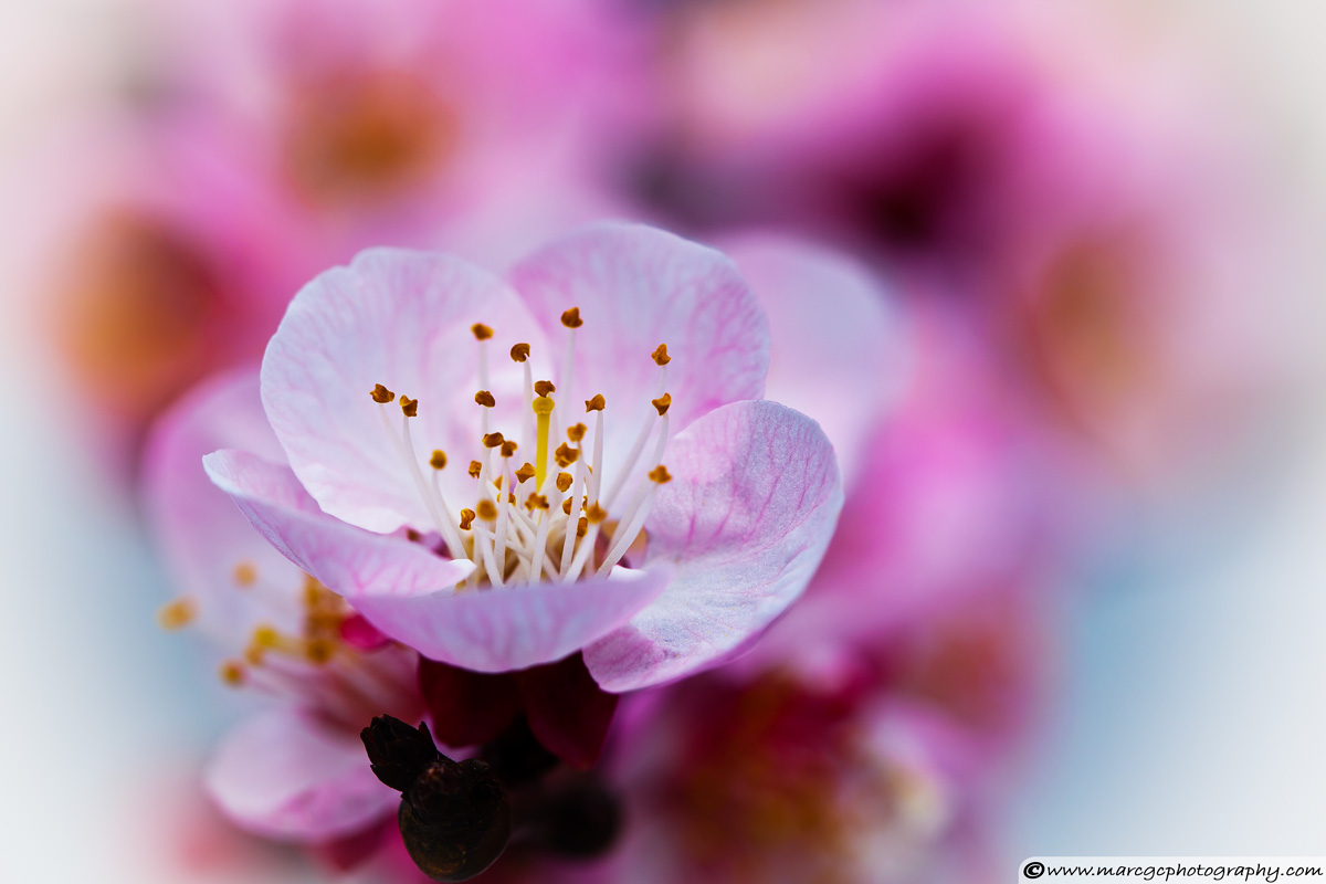 Apricot Flower Close Up - Captured with Macro Lens