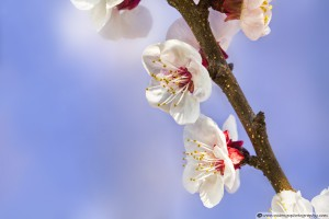 Apricot Flowers - Side Light Example