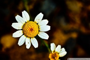 Chamomile Flower in Decay - Narrow Aperture