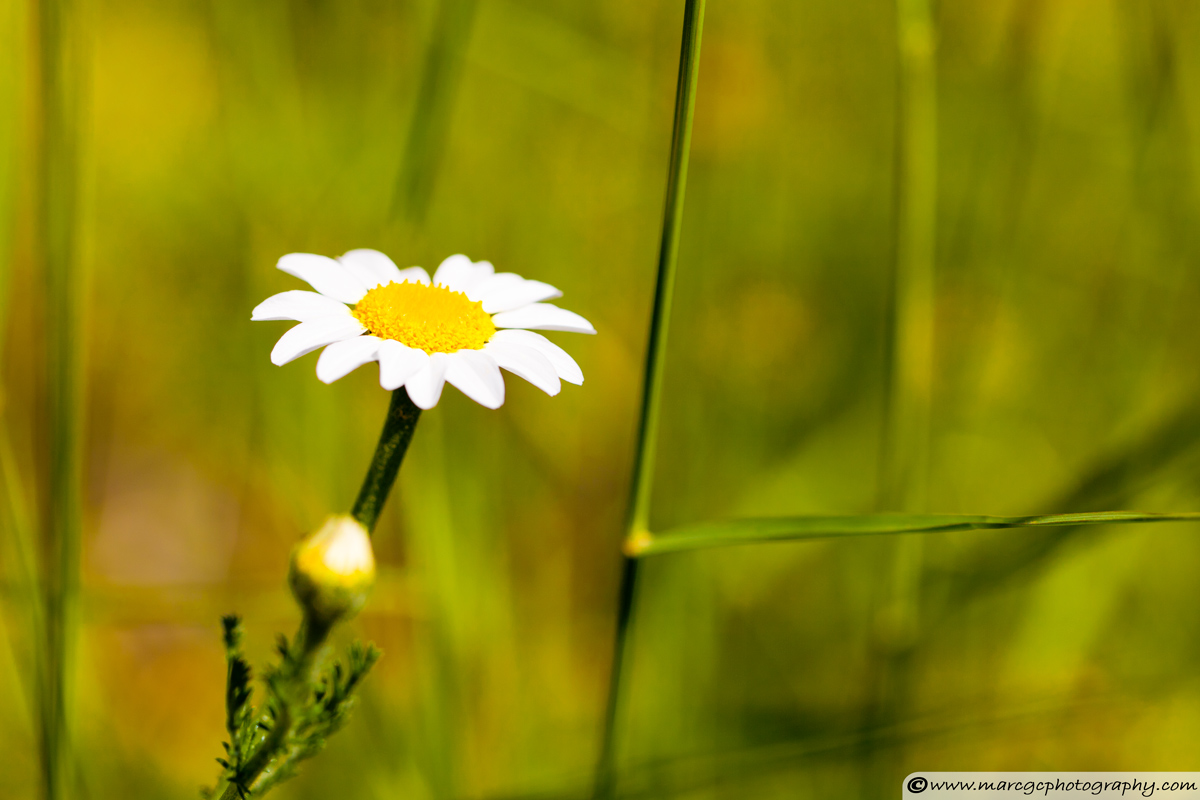 Chamomile flower - Narrow Aperture