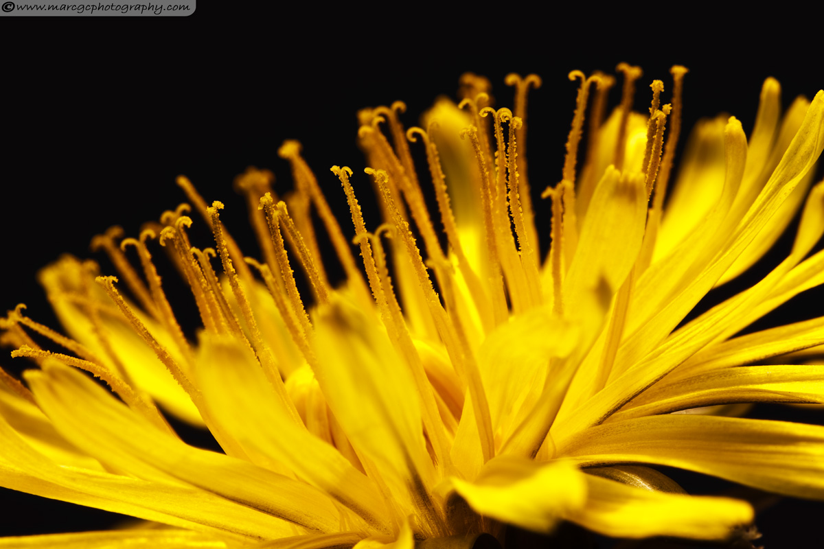 Dandelion Close Up - Studio Photo