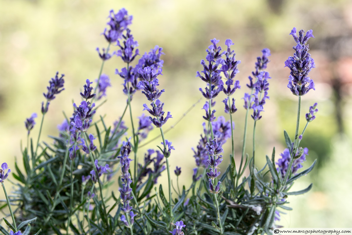Lavender Flowers - Captured with Telephoto Lens
