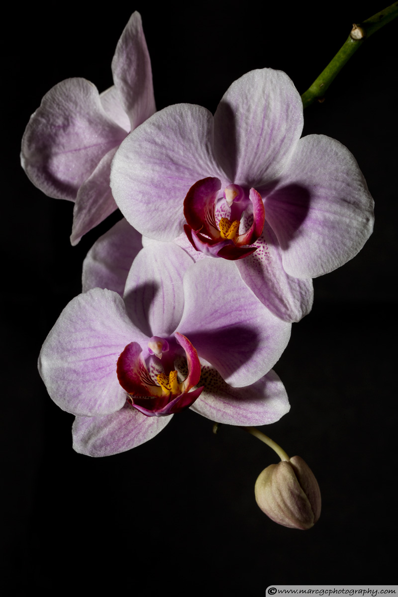 Orchid Flowers - Hard Light
