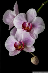 Orchid Flowers - Soft Light
