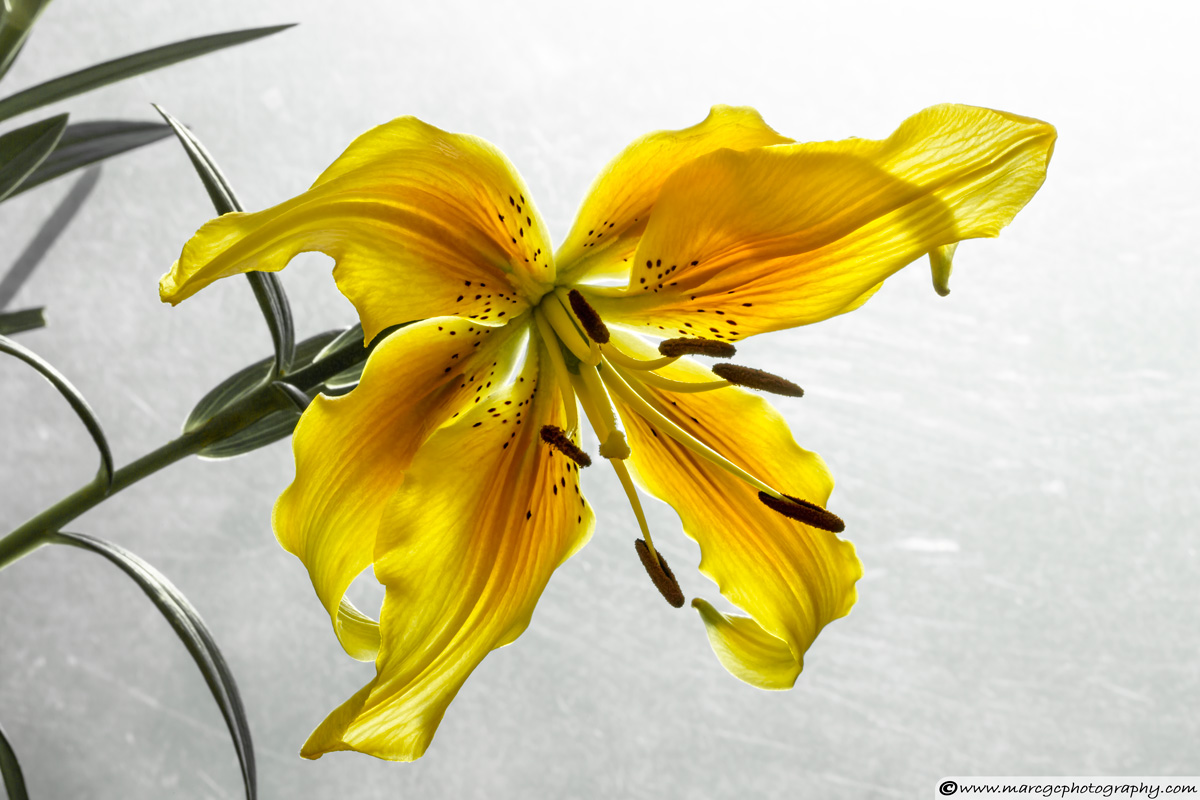 The Yellow Lily - Backlight Example