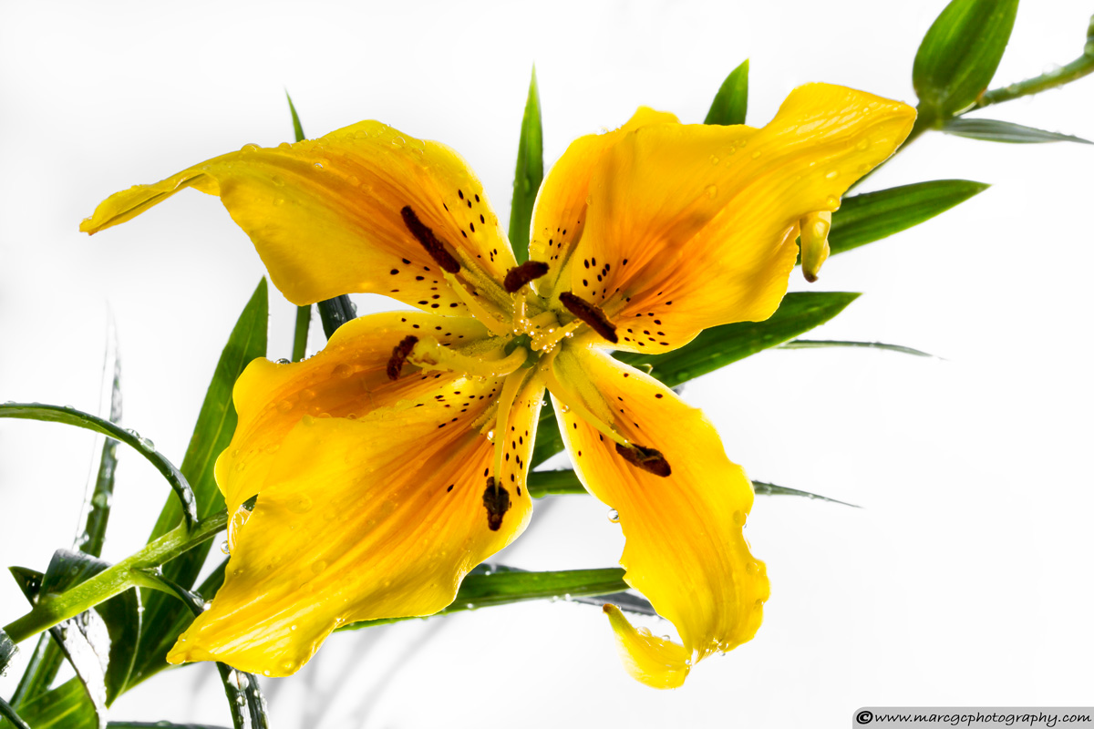 Lily Flower with Water Drops